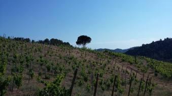 Dwarf Vines
