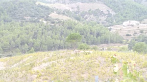 Solitary pine in the vineyard. In the valley below, passes the Ebro river, at the mouth of which one of the last battles against Franco was fought..